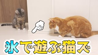 cute cats playing with the ice