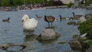 Canada Geese and Swans in Lake Ontario at Pier 4 Hamilton Ontario