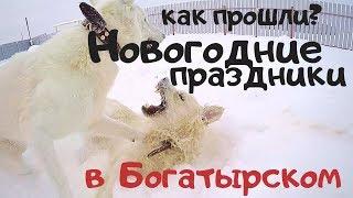 Новогодние праздники в Богатырском! Собаки в упряжках. Заокский район, Январь 2019
