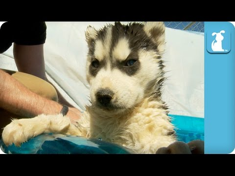 Husky Puppies First Time in Pool - Puppy Love