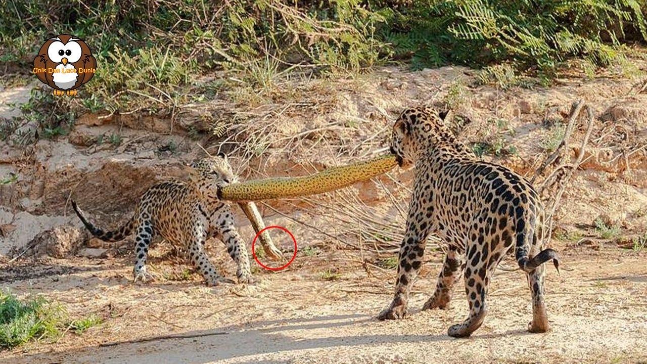 Begini Jika Jaguar Rebutan Anakonda !!
