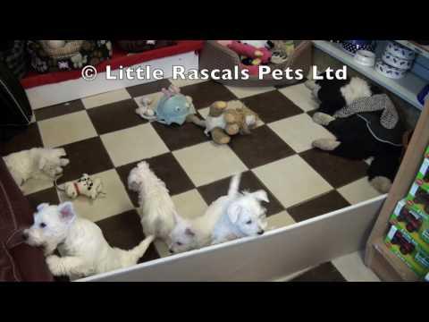 Little Rascals Uk breeders New litter of Westie puppies