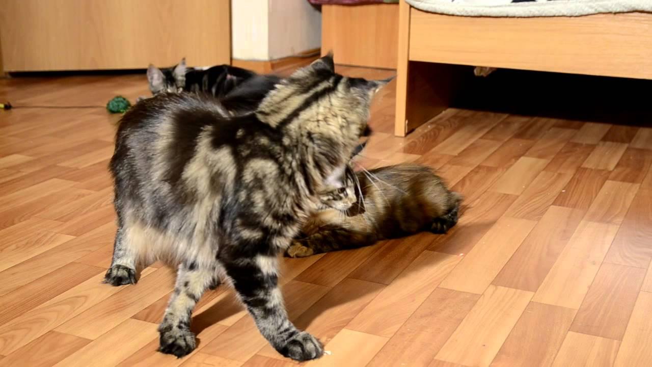 Фотографии, видео, выставки кошек мейн-кун. История породы, окрасы, содержание, уход и кормление. В санкт-петербурге у нас можно купить.