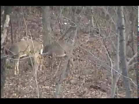 AWSOME Shoots 2 BUCKS IN 5 SECONDS Dropped In Tracks 12 Gage Rmington 870 MARYLAND Whitetail Deer