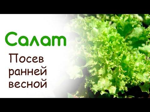 Как сажать салат листовой в открытый грунт