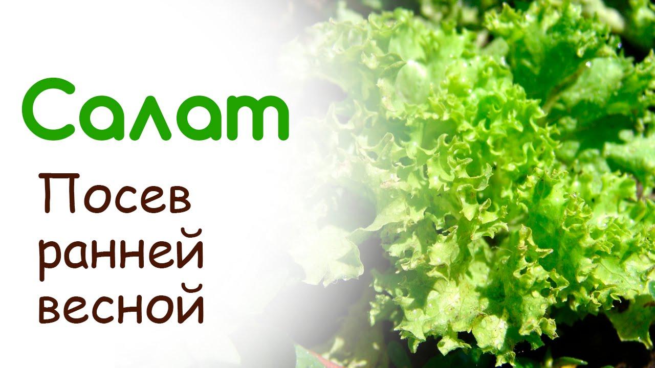 Чтобы купить семена листового салата по низкой цене, приобретайте продукцию оптом в интернет-магазине компании яскрава. Http:// yaskravaklumba. Com. Ua.