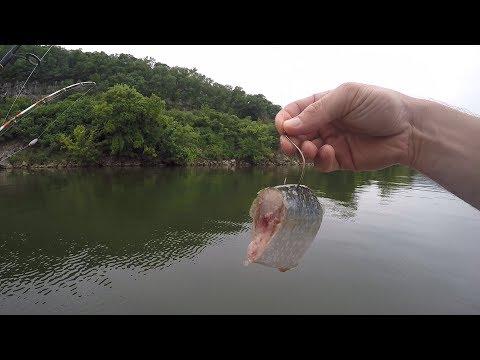 Free-Lining Cut Bait To Catch Catfish (Ft. Realistic Fishing, Panfish)