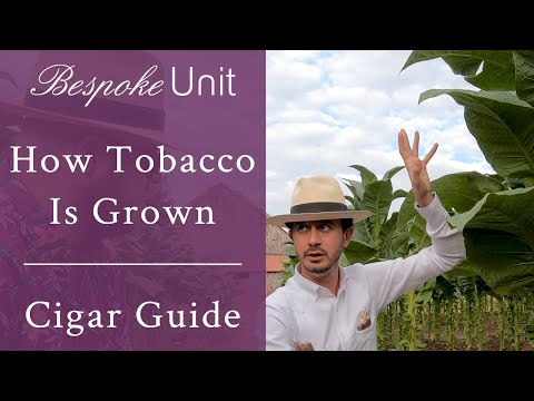 How Tobacco Is Grown & Harvested For Making Premium Cigars by Davidoff