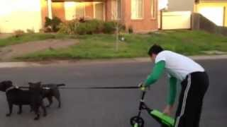 Blue Staffordshire Bull Terrier (mushing With My Two Little Beast - Part 1)