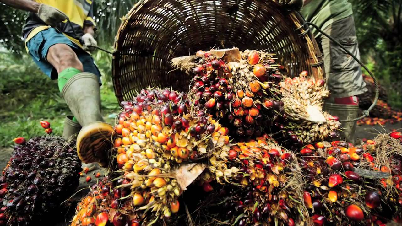 Image result for The Processes in Making Palm Oil