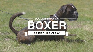 BOXER BREED REVIEW