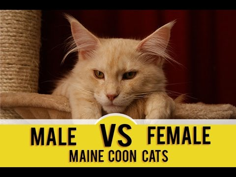Maine coon mix features