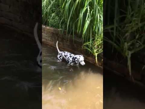 Deaf dog swimming