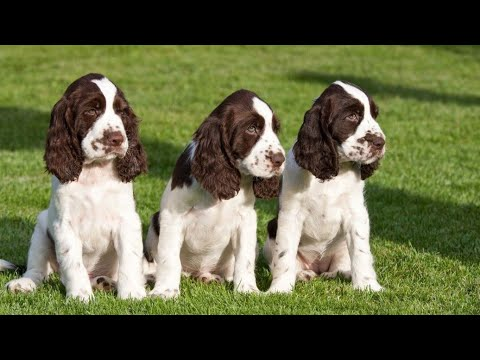 NEW: English Springer Spaniel Puppies for Sale. 3 Female Springer Puppies Ready in India.