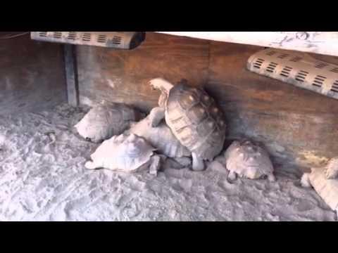 Turtles Playing