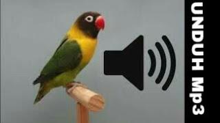 SUARA KICAUAN AMPUH UNTUK PIKAT BURUNG LOVE BIRD (LABET)