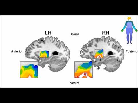 Brain activations in the putamen in response to movement of different body parts