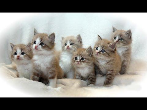 Ragamuffin Cat | An Exclusive Kitten