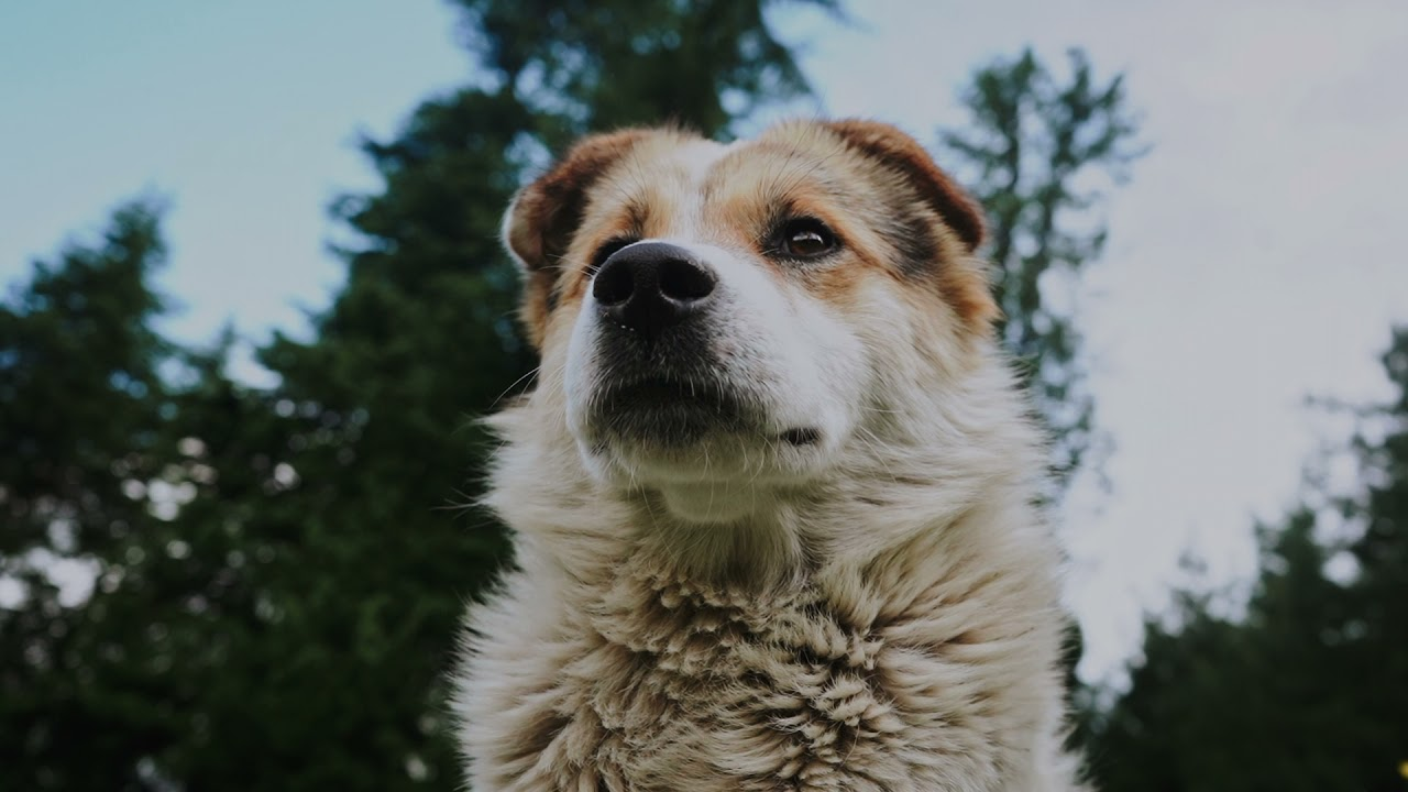 Dog in the Woods with Blue Skies   Stock Footage of a Dog in the Woods   Dog with Tongue Out   1080p