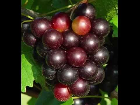 Muscadine Grape Health Benefits & Side Effects