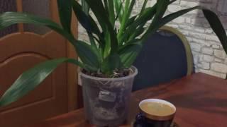 Орхидея Онцидиум Черри бэ-би