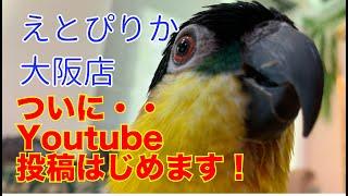 【えとぴりか大阪店】YouTube開始しました!【ズグロシロハラインコ】