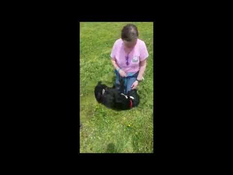 Padre - Labrador Retriever/Flat-Coated Retriever Mix