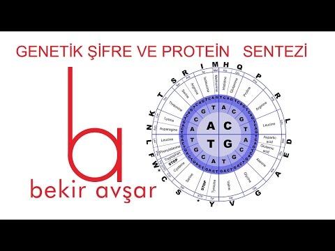 YKS Genetik Şifre ve Protein Sentezi