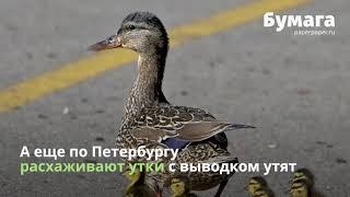 Посмотрите на майское нашествие зверей в Петербурге!