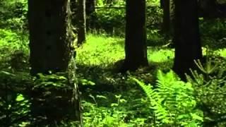 �������� ���� Музыка природы. Живой лес.mp4 ������