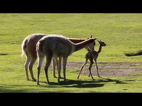 Baby vicuña takes first steps at Kolmården Zoo