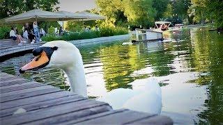 Лебеди в парке Горького в Москве