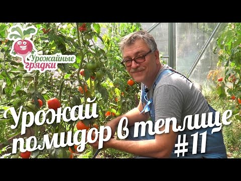 Обзор урожая томатов в теплице. Эксперимент часть 11 #urozhainye_gryadki