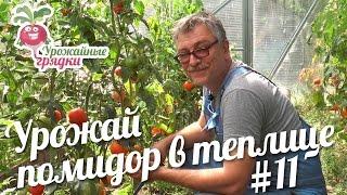 Обзор урожая томатов в теплице. Эксперимент часть 11 #urozhainye_gryadki(Здравствуйте, уважаемые садоводы и огородники! Как я Вам и говорил, помидор в этом году будет не очень много...., 2016-08-30T12:00:01.000Z)