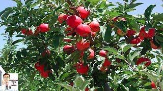 सेब की खेती से कमाएं 12 लाख रुपए सालाना - Apple cultivation for high return in hot climate