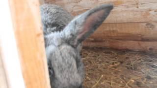Кролик серебристый(, 2016-01-20T12:18:41.000Z)