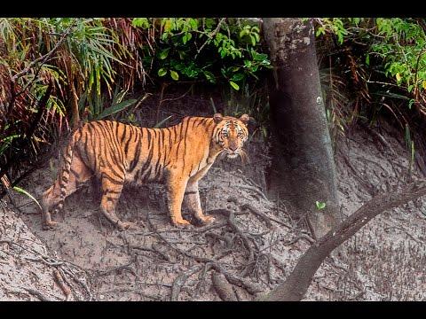 Royal Bengal Tiger live in sundarban | sundarbans national park