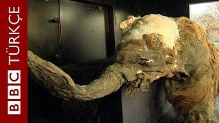 39 bin yaşındaki yavru mamut sergileniyor - BBC TÜRKÇE