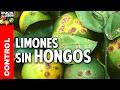 los 10 mejores consejos para acabar con los hongos del Limonero @cosasdeljardin