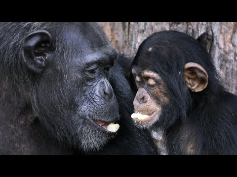 Good news for 60+ chimps in Liberia