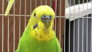 Male Budgie/Parakeet Chirping(Kami)(Волнистых попугаев)