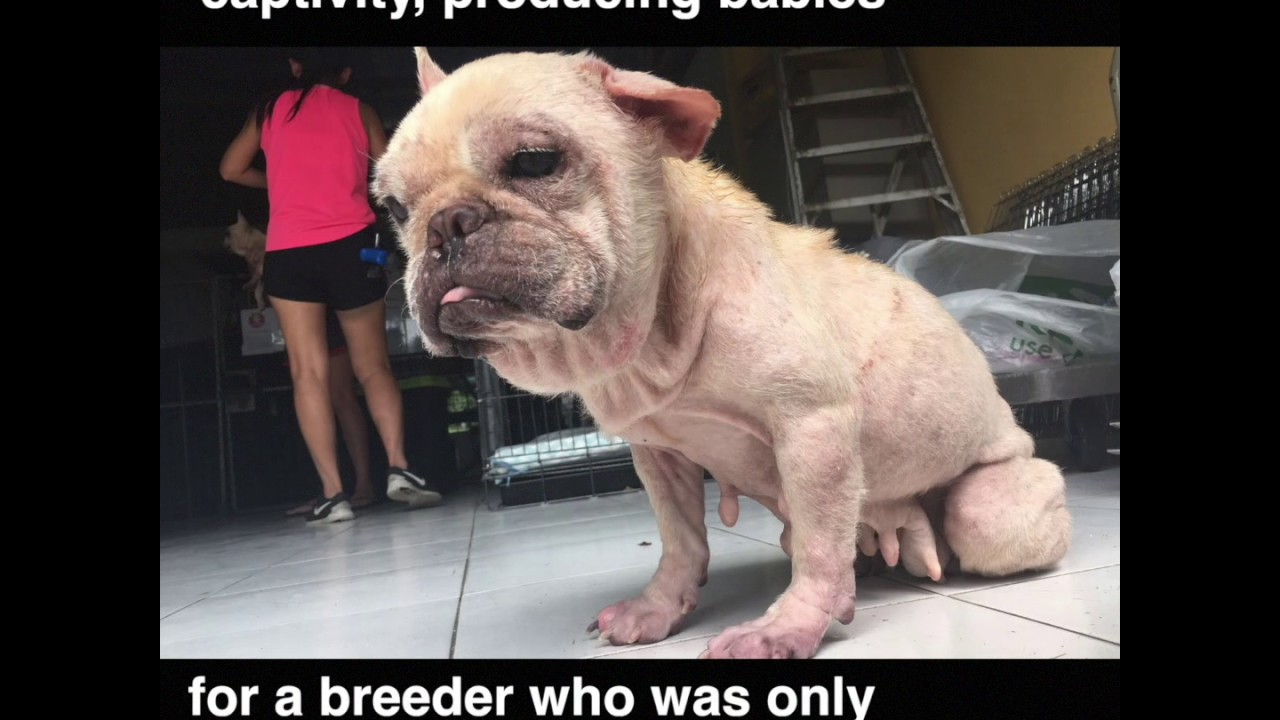 Exposing Cruelty In Puppy Mills Severely Neglected Ex Breeding