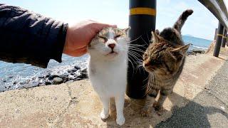 海辺にいたキジトラ猫とキジシロ猫が上機嫌でモフられにやって来た
