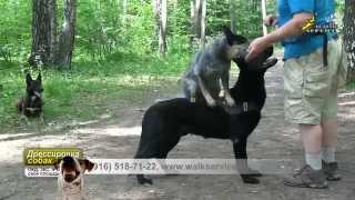 Дрессировка стаи собак, Чери баланс