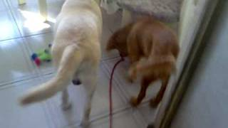 Golden Retriever Walking/exercising A Labrador Retriever