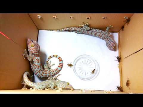 Tắc kè rung đuôi trước khi tấn công (geckos shaking tails before attacking)