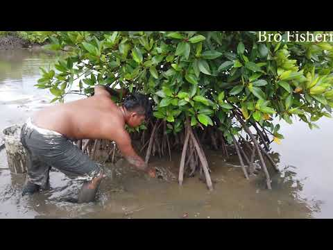 Catching King Mud Crabs In Muddy By Hand And Using Traditional Tools