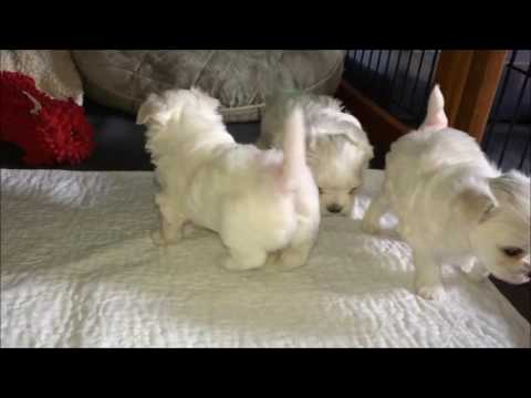 Storybook Maltese Puppies - 1 Month 4 Days Old