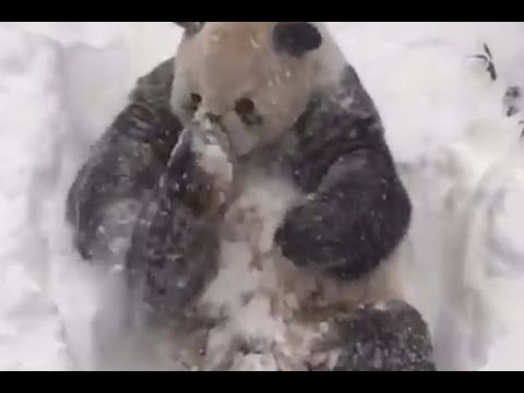 Panda Tian Tian Loves The Snow Storm blizzard 2016 Very Much, Yes He Does