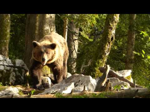 Bear Watching in Slovenia